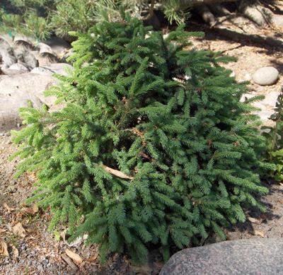 Havupuut Suomessa