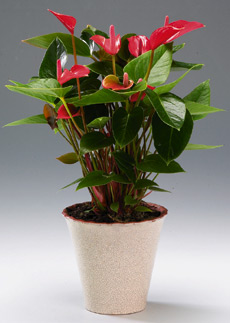 flamingonkukka (Anthurium)