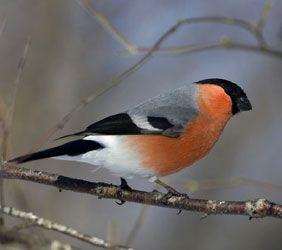 Lintujen Lisääntyminen