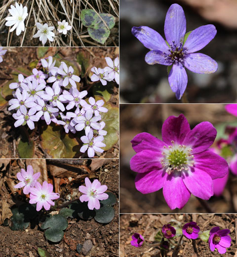 Anemone hepatica var. japonica color variation Kuva: Alpsdake (http://commons.wikimedia.org)