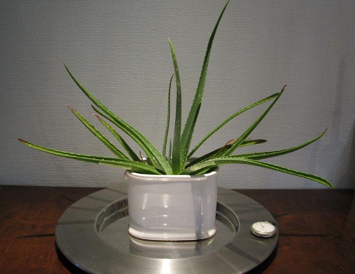 Aloe segít a prosztatitisből