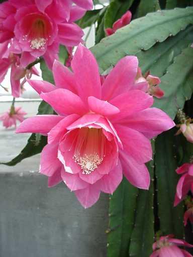 Hovineidon Kaktus