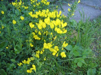 Keltainen Kasvi