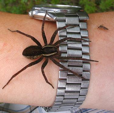 Myrkylliset Hämähäkit Suomessa