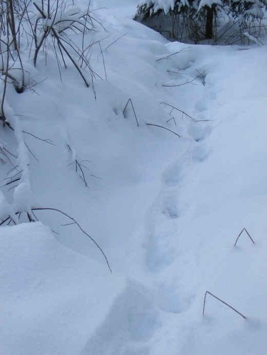 Supikoiran Jäljet Lumessa