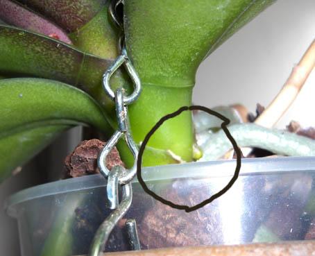 Orkidea Ilmajuuret