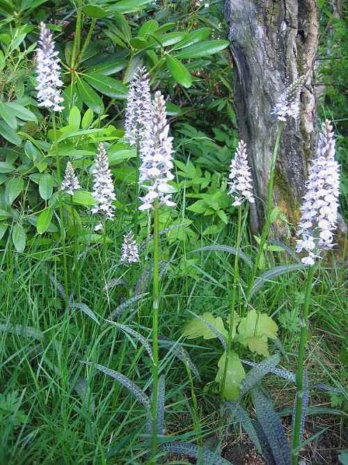 Suomen Orkideat