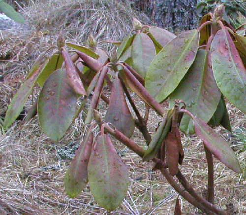 Alppiruusun Lehdet Ruskeat