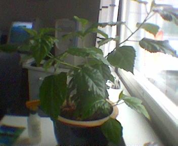 Kiinanruusu Pistokas