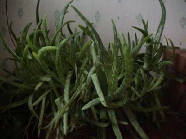 Aloe segít a prosztatitisből Mi a DGPZH 1 evőkanál Krónikus prosztatitis