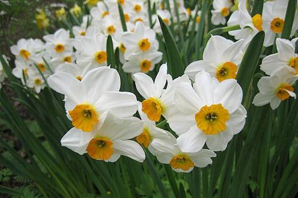 Yksinäinen Narsissi