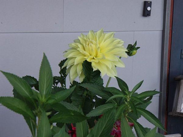 keltainen ruusu helsinki suomalainen nainen