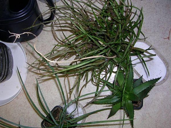 Aloe segít a prosztatitisből Hogyan kell kezelni a krónikus prosztatitisből