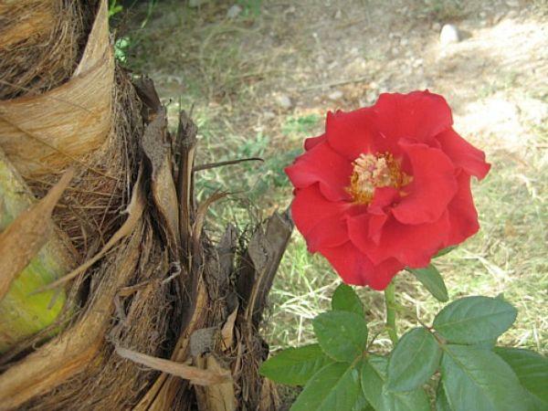 Dating aavikko ruusu