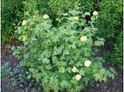 Viburnum opulus 'Pohjan Neito'