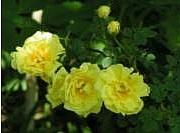 Rosa Harisonii Williams Double Yellow