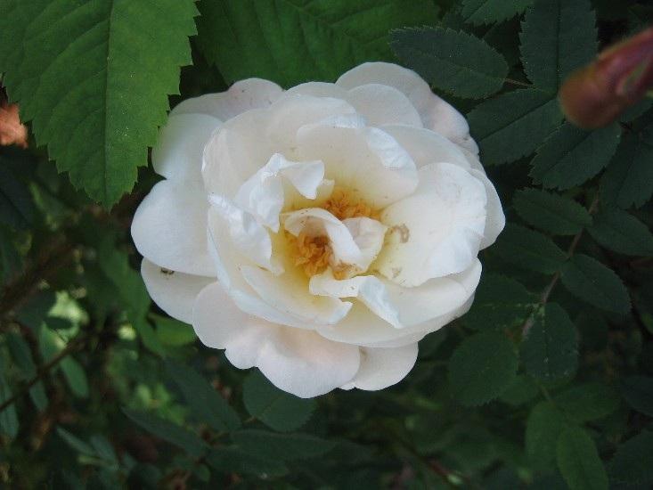 Juhannusruusu, Rosa pimpinellifolia 'Plena', midsommarros, finlands vita ros
