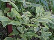 Cornus alba 'Gouchhaultii'