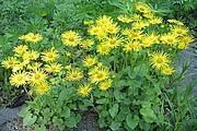 Doronicum orientale