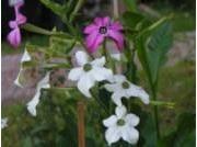Nicotiana Sanderae-ryhmä