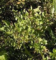 Vaccinium myrtillus