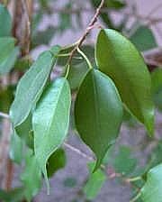 Limoviikuna, Ficus benjamina, benjaminfikus