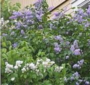 Pihasyreeni, Syringa vulgaris, syren