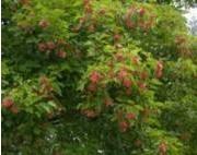 Acer tataricum