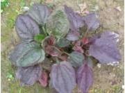 Plantago major 'Rubrifolia'
