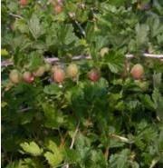Ribes Uva-crispa-ryhmä