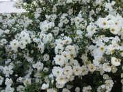 Kuvattu 21.6.06 Juhannusruusu, Rosa pimpinellifolia 'Plena', midsommarros, finlands vita ros