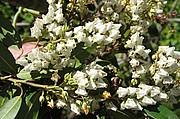 Karoliinankellovaivero, Pieris floribunda, buskrosling