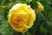 Rosa foetida 'Persiana' ('Persian Yellow')