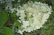 Syyshortensia, Hydrangea paniculata `Grandiflora´, syrenhortensia