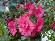 Rhododendron Simsii-ryhmä