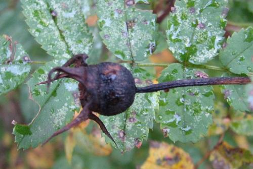 juhannusruusun kyps� kiulukka lokakuussa 2006 Juhannusruusu, Rosa pimpinellifolia 'Plena', midsommarros, finlands vita ros