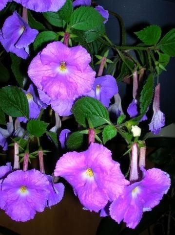 Gloxiniaväxter  Gesneriasterna