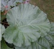 Rheum x hybridum