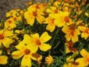 Tagetes tenuifolia