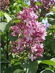 Kuvattu 2.6.06 Pihasyreeni, Syringa vulgaris, syren