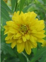 Rudbeckia laciniata 'Goldball'