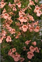 Amppelidiana, Diascia vigilis, blek twillingsporre