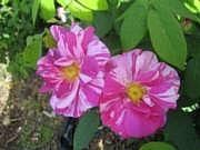 Rosa 'Rosa Mundi'