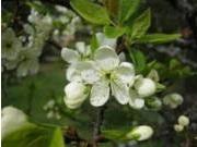 Prunus domestia