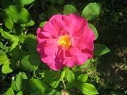 Apteekkarinruusu, Rosa 'Officinalis', apotekarros