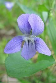 Viola canina