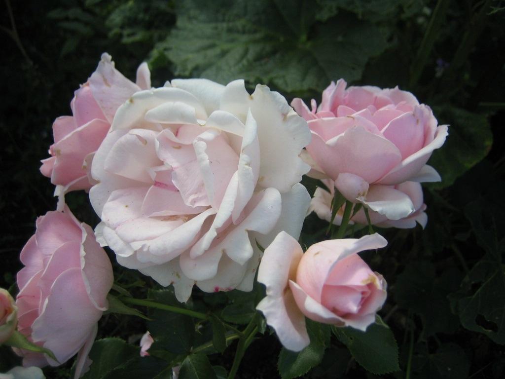 Floribundaruusu Ballade (Kotiliesi), Rosa Floribunda-ryhmä 'Ballade' ('Kotiliesi'), floribundaros