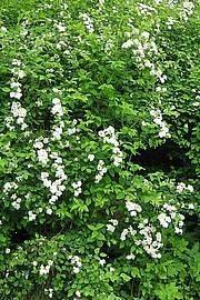 Spiraea chamaedryfolia