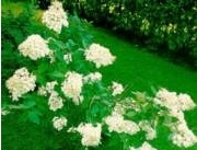 Hydrangea paniculata `Grandiflora´