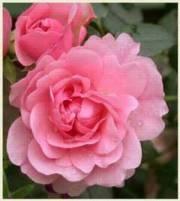 Rosa Peittoruusu-ryhmä 'Bonica'